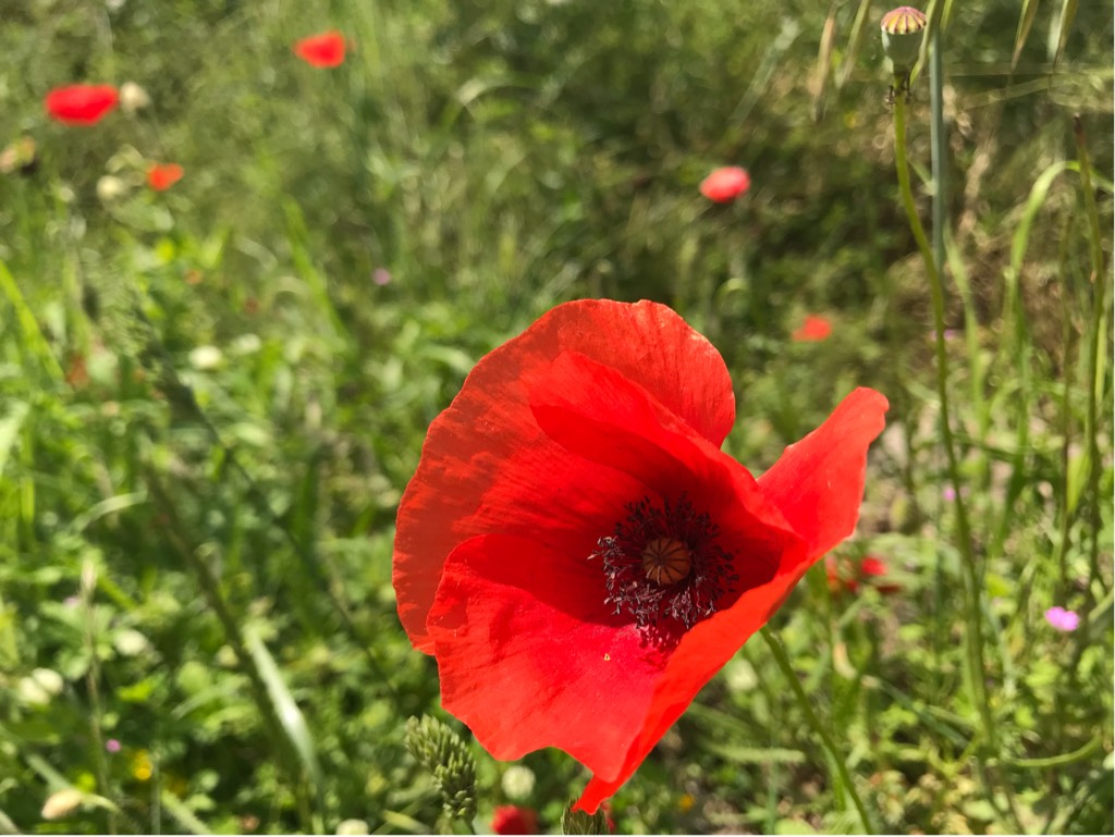 Papaver rhoeas or Red Poppy
